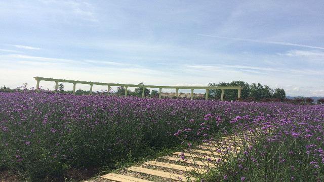 Hanzhong Lavender Garden2