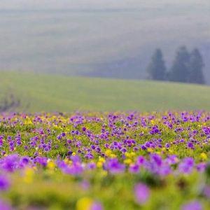 琼库什台紫花坡旅游景点攻略图