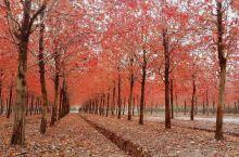 金山枫叶🍁岛,一抹娇秋