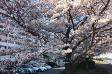 #春日寻芳#又到樱花盛开时