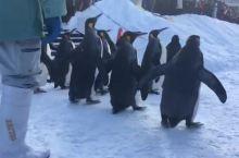 旭川动物园冬季企鹅散步游行,简直萌翻~