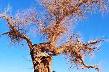 #瓜分10000元#怪树林  胡杨的坟墓,死神的纪念碑