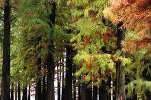 风雨中五彩斑斓的杉树林
