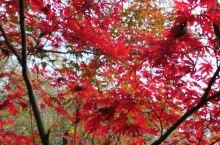 何处枫叶美? 血染的风采,美在南京栖霞山。