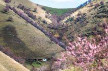 比日本樱花震撼的多的中世纪的瑰宝--伊犁杏花沟。