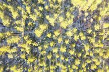 航拍栖霞山植物园,北国的落叶松原来这么好看