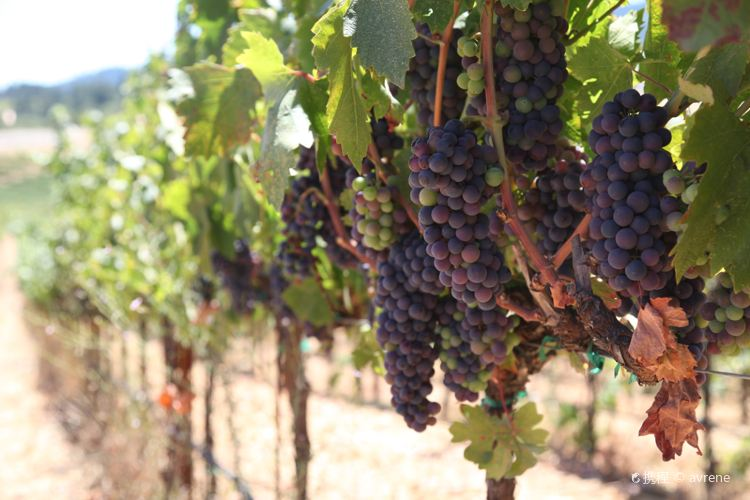 Mazzocco Winery4