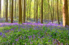 🇧🇪比利时的蓝色花海梦幻仙境