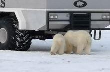 风雪中观赏北极熊