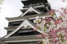 九州熊本城赏樱人少
