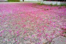 温岭二中 虎山下的紫荆