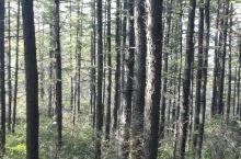 五岳寨的杉树很漂亮,山上云雾缭绕,值得一看!