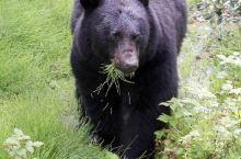 加拿大班夫国家公园冰原大道巧遇黑熊(2018/7)