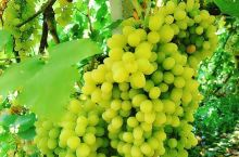 """葡萄季 葡萄季。各种颜色、各种大小的葡萄,水润清甜,不知怎么就想起了首歌""""吐鲁番的葡萄熟了"""""""