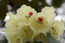 苍山三潭:开满黄杜鹃的秘境花园