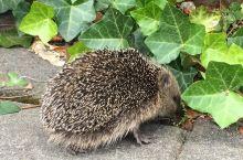 🦔刺猬一家又到花园里找美味的蜗牛🐌