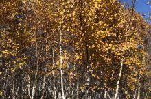 坝上的白桦林,绝美!