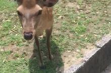 奈良公园喂小鹿