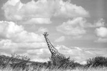 肯尼亚最美长颈鹿在马赛马拉