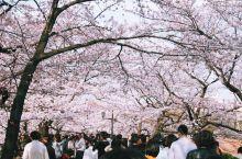 东京上野公园,闹市区的一片花海