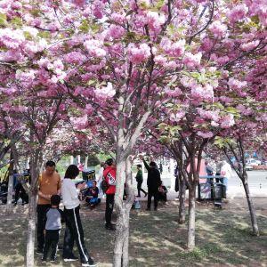 樱花大道旅游景点攻略图