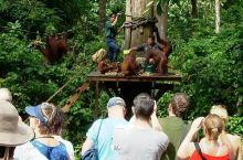 西必洛人猿中心   西必洛人猿中心距离山打根市区约40分钟的车程,大概有60-80只红毛猩猩以这里为