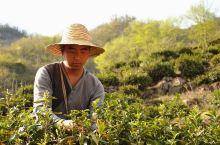 全景镇安-秦岭山里的种茶人