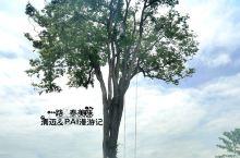 拜县的大树秋千 PAI县最有名的大树秋千,独株望天树挂着秋千,吸引着很多慕名而来的游客来这里拍照留念