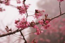 阿里山·赏樱