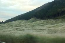 漫山遍野的芒草。