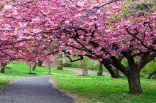 ☞樱花在哪里?盘点广东最佳的樱花观赏胜地