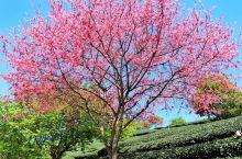 #春日寻芳#福建永福·台品樱花茶园