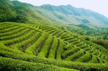 满山葱绿茶林飘香