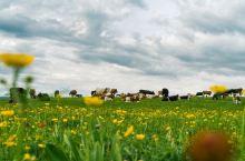 喀纳斯的夏天草原,牛羊成群,野花遍地