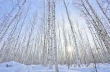 漠河白桦林🌲是我心中北方的样子