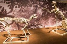 全世界独一无二的和政羊化石