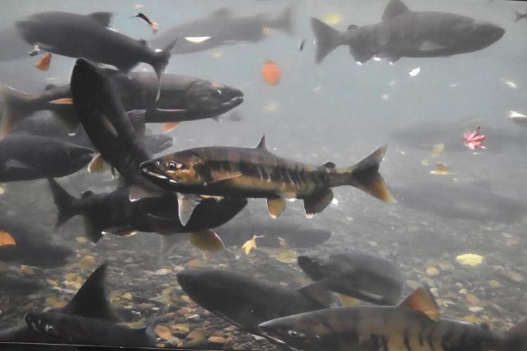 Chitose Salmon Aquarium4