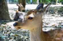 奈良 | 大唐遗风的留存,会鞠躬的鹿