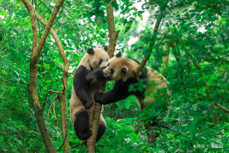 成都ジャイアントパンダ繁殖研究基地1