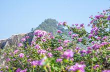 很梦幻、紫色马樱丹,花开富贵,娇柔小花遇上【玉石林】的磐石不可移