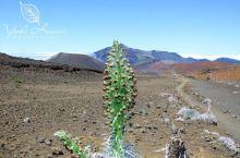 夏威夷独有的植物:银剑树