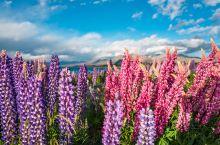 抛开国内酷暑,春日的新西兰,给你点颜色看看