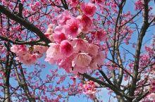 台湾赏樱首选|在阿里山乘小火车穿越粉红花海