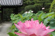 日式佛系 | 夏日清凉意,品一品日本的荷花盛会