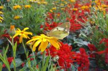 近观蝴蝶采蜜