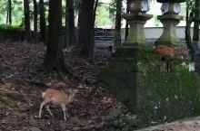 最有礼貌的春日大社小鹿鹿