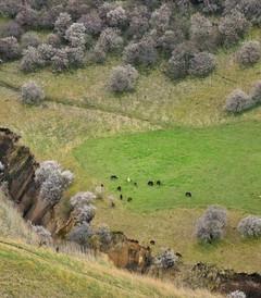 [新疆游记图片] 不远万里,只为你 - 那漫山野杏林,新疆的春天