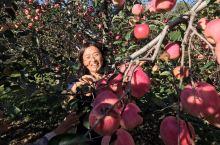 丹东五龙背苹果采摘园
