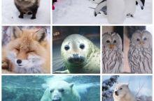 北海道冬季亲子游推荐:旭山动物园——看活泼可爱企鹅的在雪中散步
