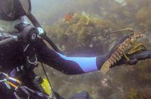 在洛杉矶海底徒手抓龙虾是什么样的体验?